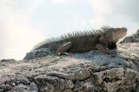 19 iguana 2